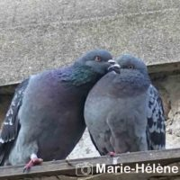 2019 03 21 Pigeons 11e Paris 038 tag