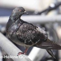 2019 07 02 Pigeons st lazare 0001 tag