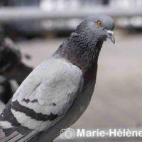 2019 07 04 Pigeons st lazare 0004 tag