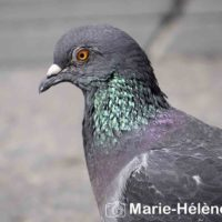 2019 07 04 Pigeons st lazare 0017 tag