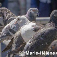 2019 07 04 Pigeons st lazare 002 tag