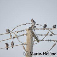 2020 01 03 BRISBANE 2996 pigeon en ligne tag