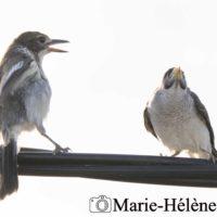 2020 01 03 oiseaux BRISBANE 2989_1tag1