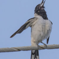 2020 01 03 oiseaux BRISBANE 3009 tag