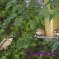 2020 04 18 Oiseaux la Frette 5151 tag c